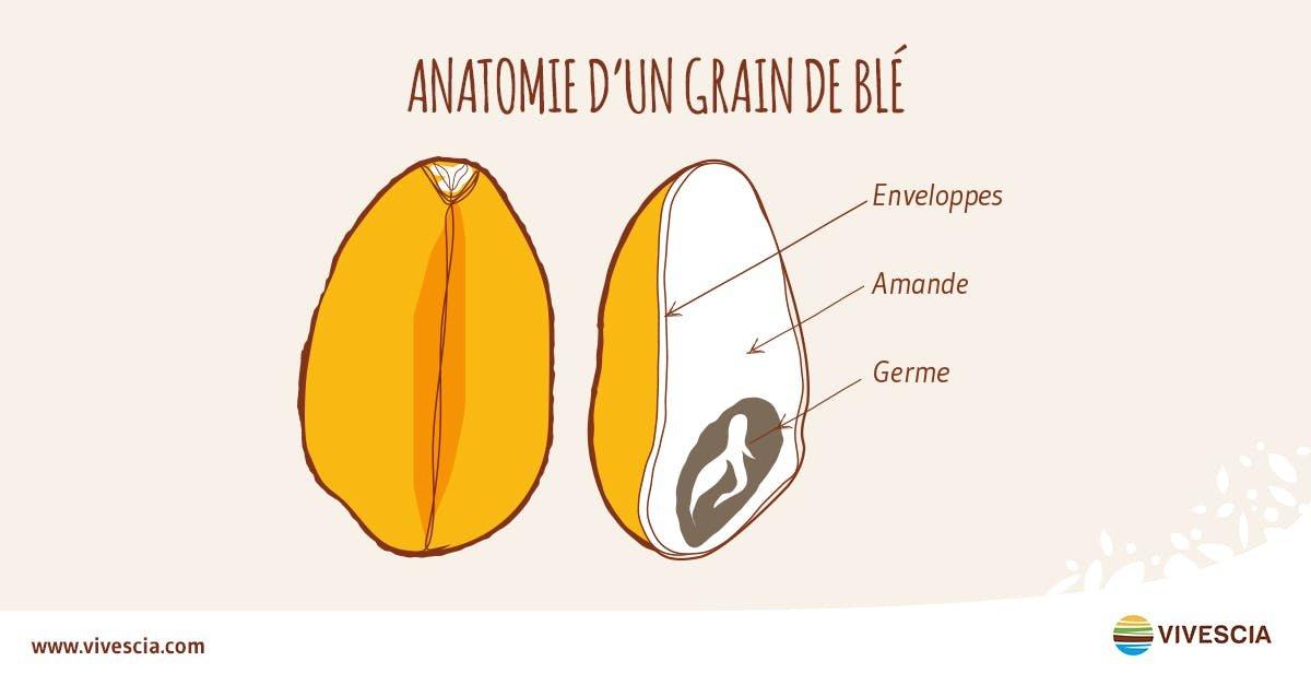 anatomie d'un grain de blé