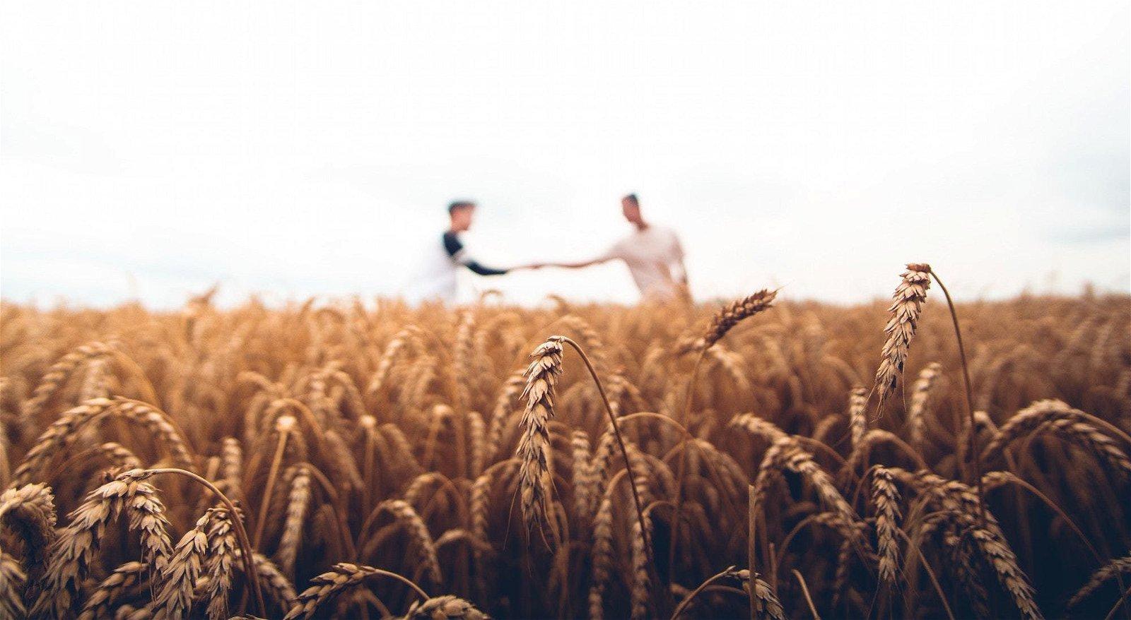 champ de blé conversion bio
