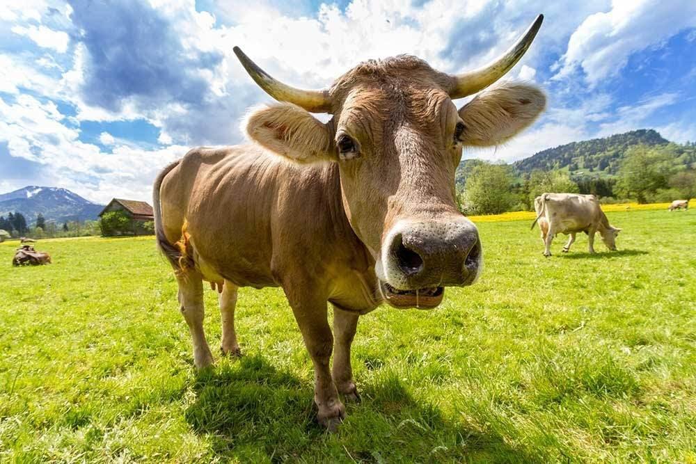 Animaux d'élevage dans agriculture biologique