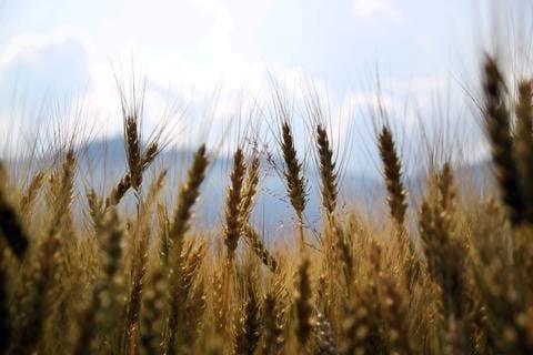 Céréales pesticides blé ogm
